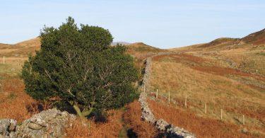 A Holly Tree near Graig y Castell, Dolgellau