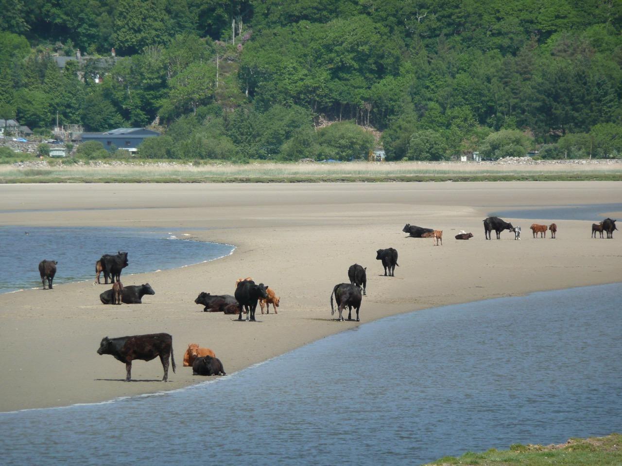 Cows on the Mawddach Estuary