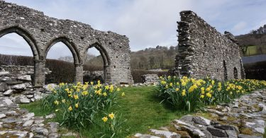 Daffodils by Cymer Abbey