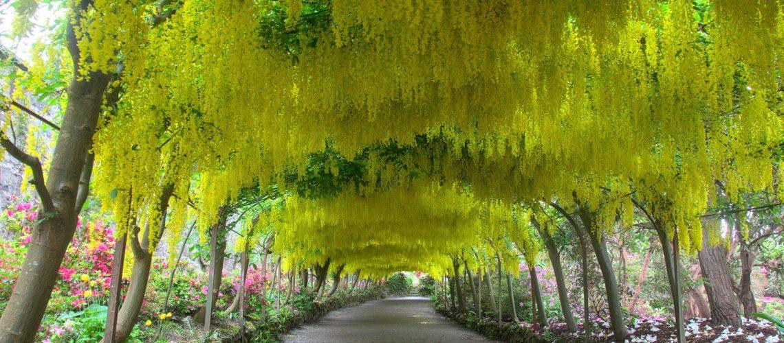 The Laburnum Arch at Bodnant Garden