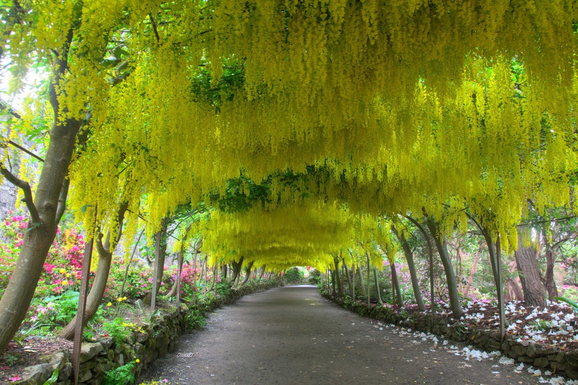 The Laburnum Arch at Bodnant Garden
