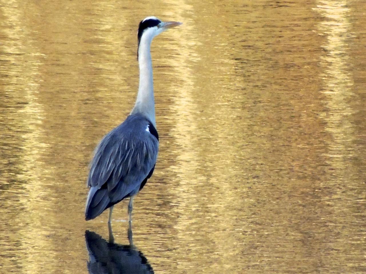 Grey Heron on the Mawddach Estuary