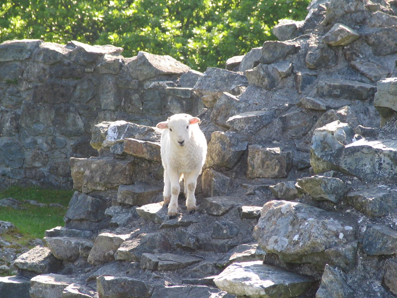 One of the Locals at Castell y Bere